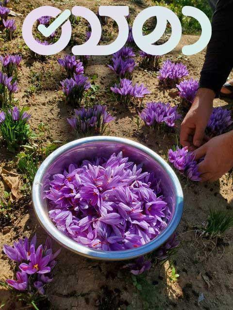 کشت خانگی زعفران گلخانه ای